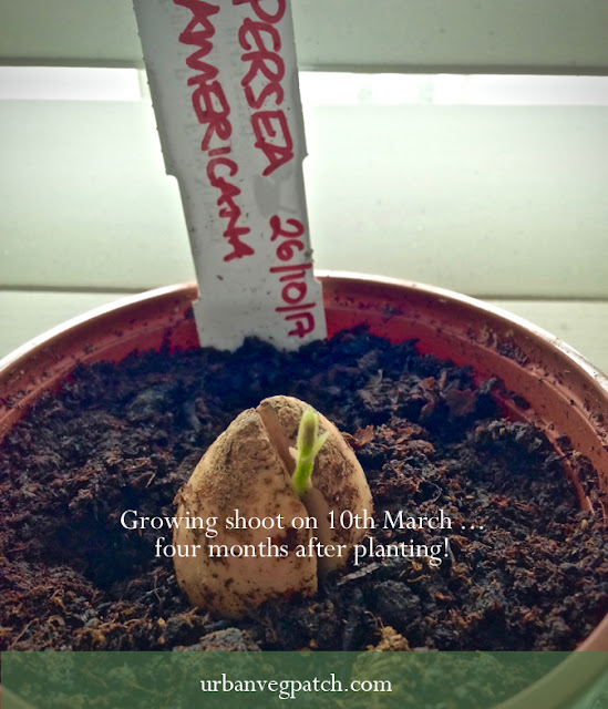 Avocado stone sprouting
