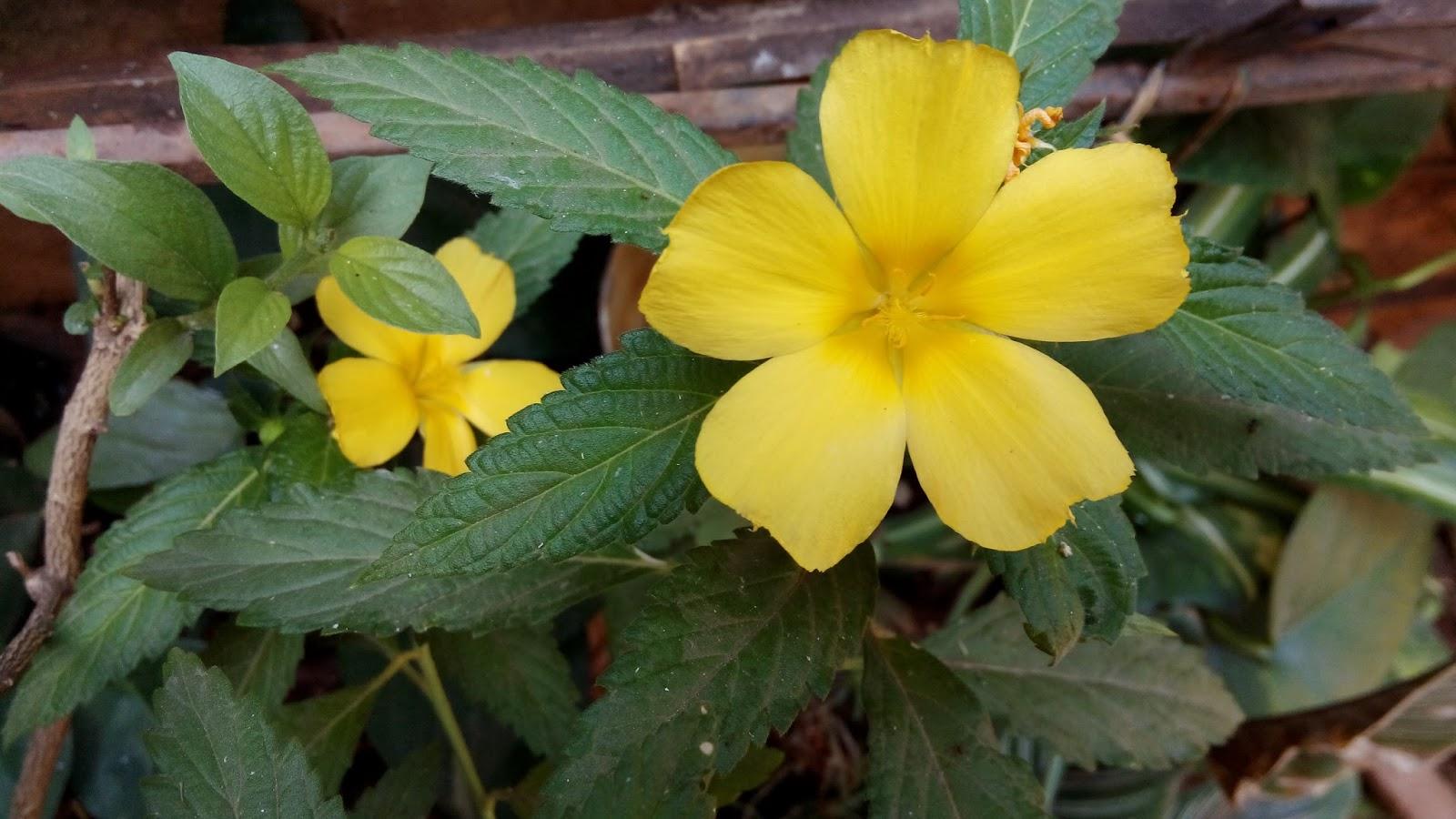 Garden Care Simplified Yellow Mussaenda Flowering Plant Growing