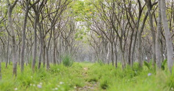 《台中.后里》龍貓隧道,無患子森林,數十條600米隧道,拍美照不用人擠人
