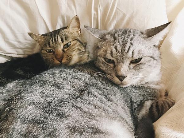 イカ耳になってこわい顔をしているサバトラ猫