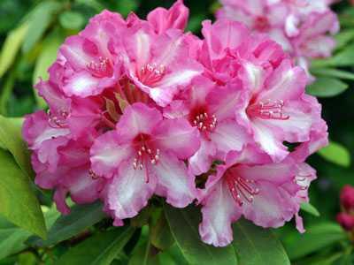 Kỹ thuật trồng và chăm sóc hoa đỗ quyên dịp Tết