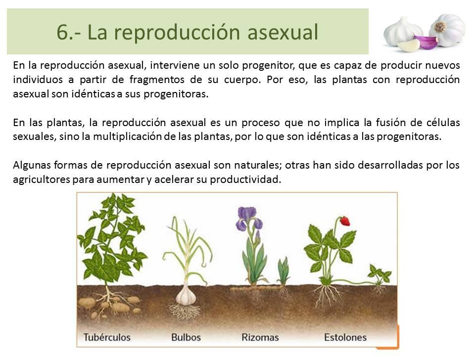 Estolones reproduccion asexual fision