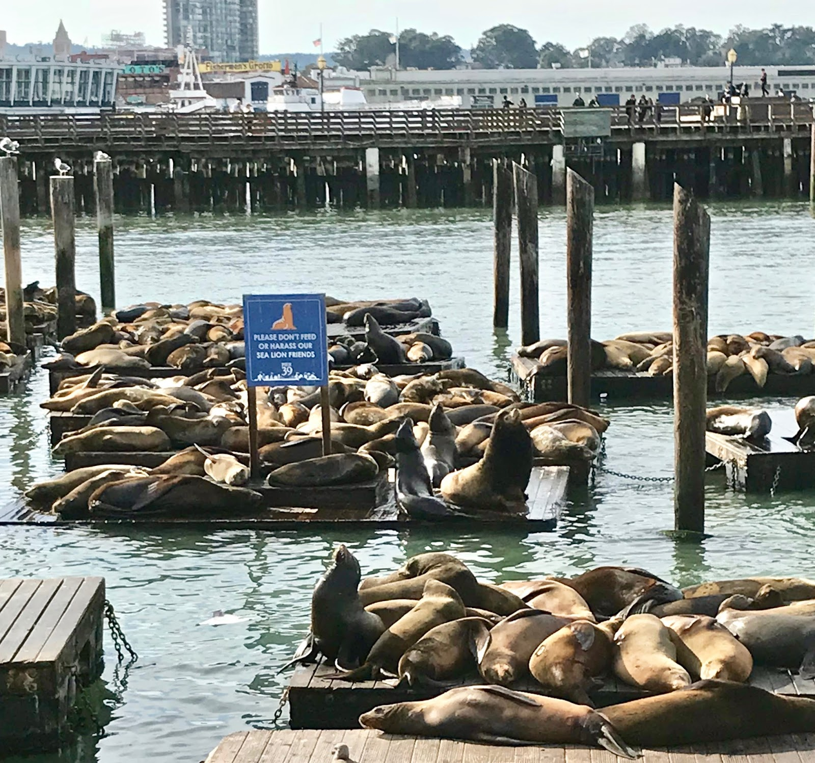 Pier 31: Tallahassee Daily Photo: Sea Lions At Pier 39