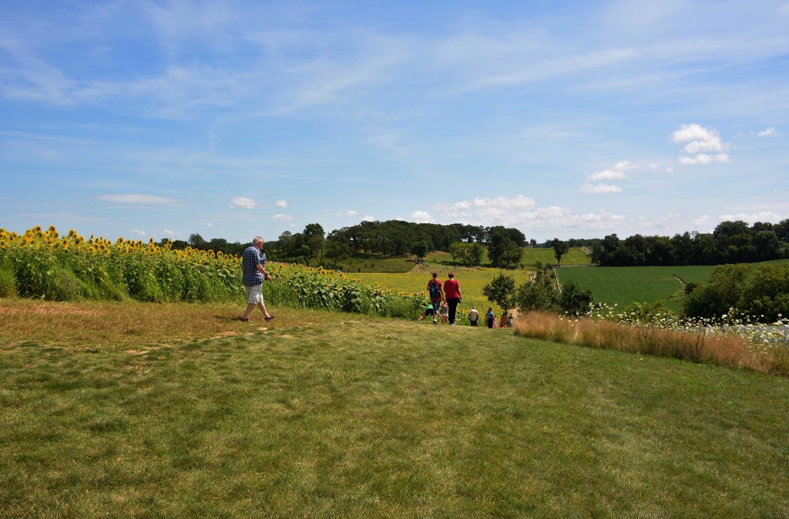 sunflower fields 2 by - photo #49