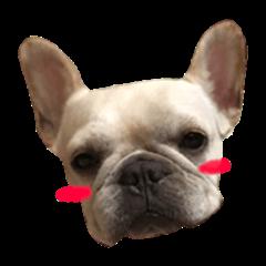 Adorable frenchbulldog