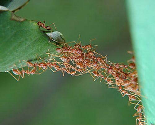 بناء الجسور عند النمل: مثال رائع للتضحية والتعاون