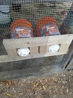 5 gallon bucket as a nesting box for chickens.