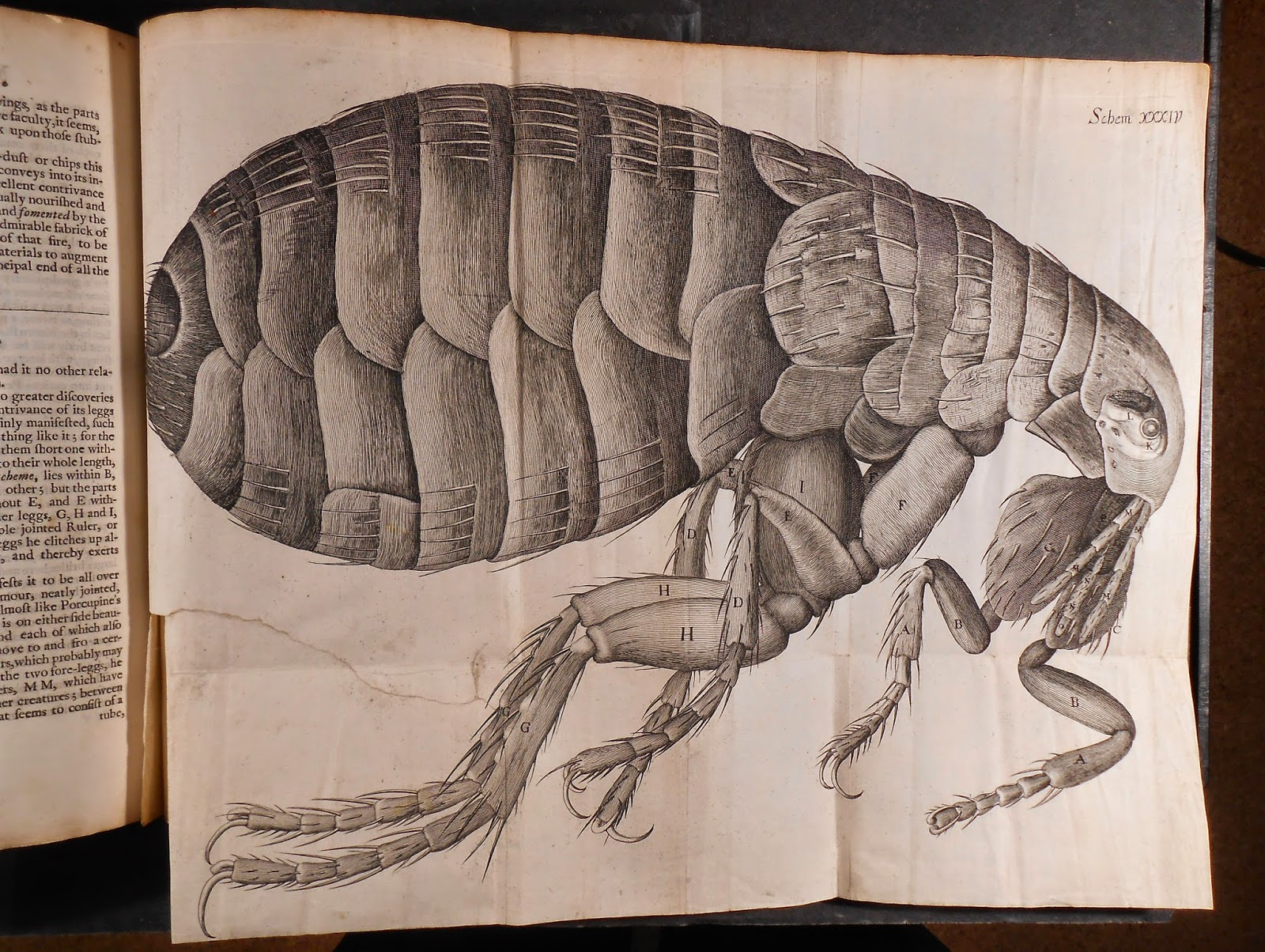 A large, fold-out illustration of a flea.