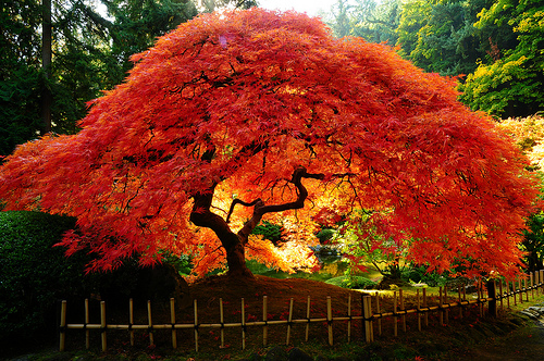 How to grow japanese maples the garden of eaden for Japanese trees for landscaping