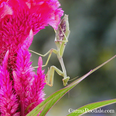 Full-body-praying-mantis