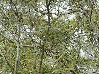 Tamarin des hauts - Acacia hétérophylle - Acacia heterophylla