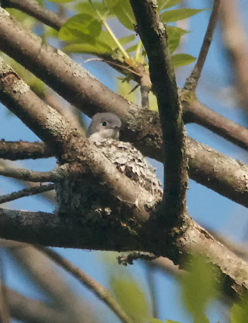 Blue-grey Gnatcatcher (Polioptila caerulea)
