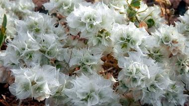Como el vidrio. Paronychia capitata