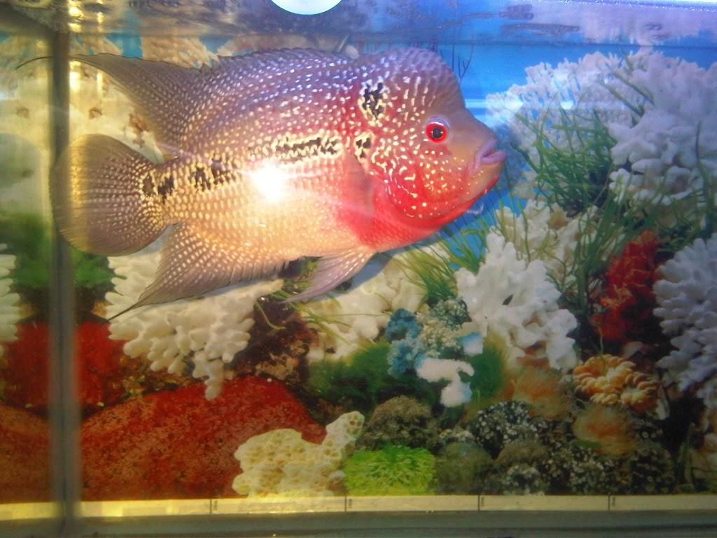 ikan lohan terbesar di dunia