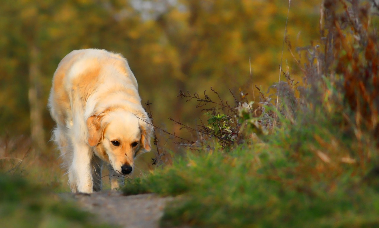 Golden Standard Dog Training