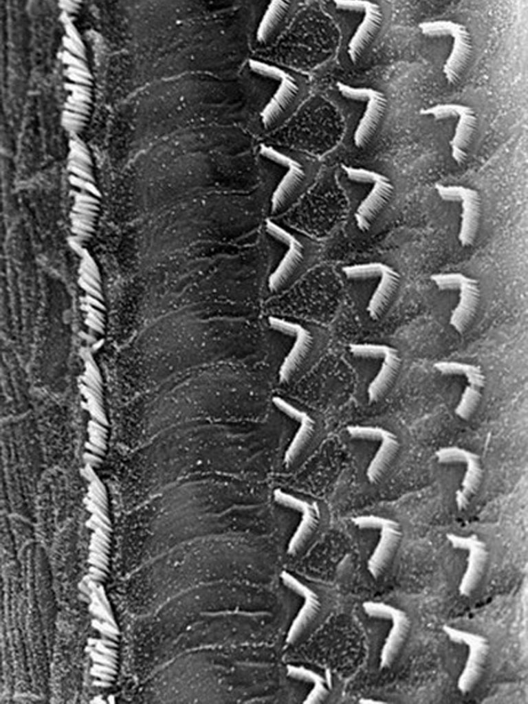 Figura 8. Fotografía de las células pilosas del órgano de Corti vistas desde arriba.