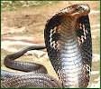 gambar ular king kobra (Ophiophagus Hannah)