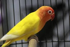 harga lovebird, lovebird, harga love bird
