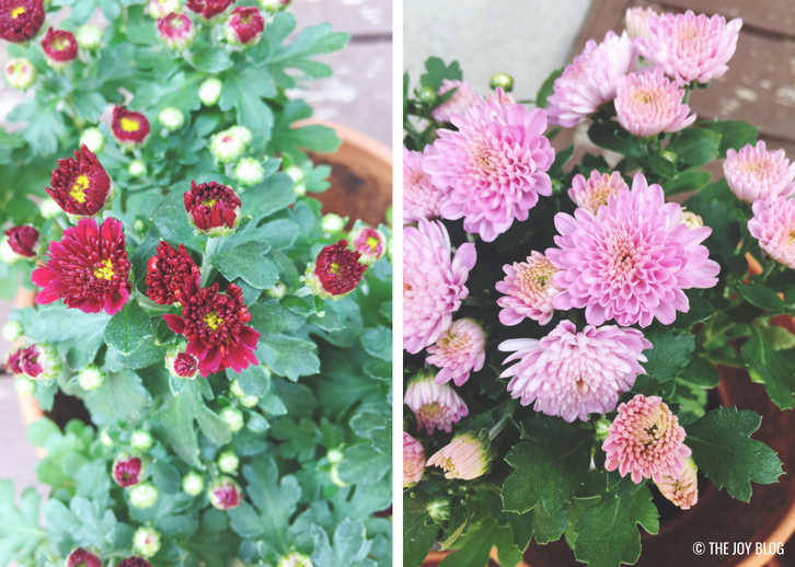 Fall Mums // A Bee Friendly Flower Bed - Update | www.thejoyblog.net