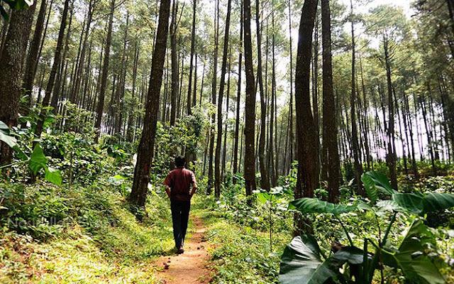 Jalan setapak di Hutan Pinus Kandangan, Temanggung