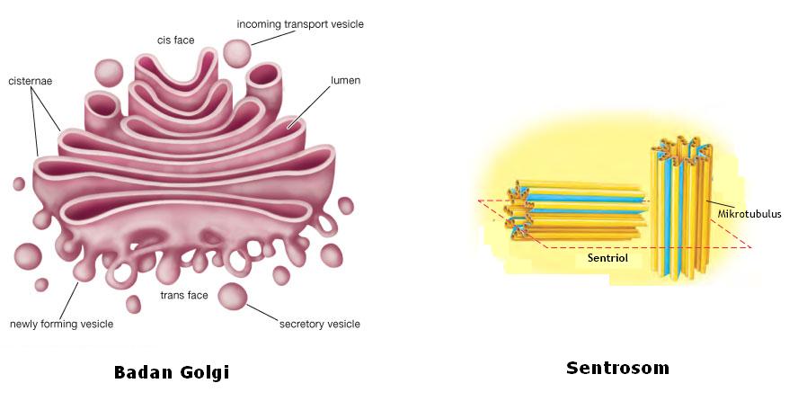 Pengertian Badan Golgi (aparatus golgi atau diktiosom) dan ...