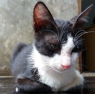 Merawat Lucky Kucing Yang Terkena Calicivirus Secara