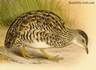 aves de la argentina en extincion Inambú enano Taoniscus nanus