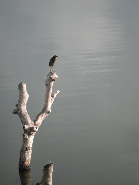 green heron Guatemala
