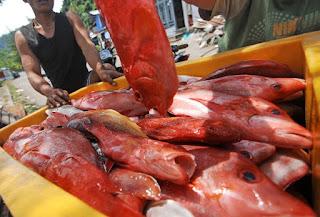 Cara Budidaya Ikan Kakap Merah Usaha Kecil Untung Besar