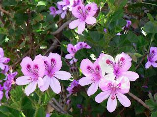 玫瑰天竺葵,Rose Geranium,芳療,精油保健,精油百科,精油基調