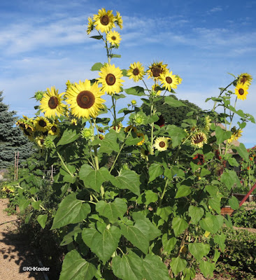 Helianthus annuus, common sunflower
