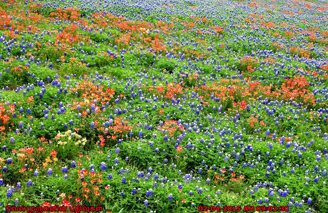 Ocean Of Bluebonnets Near Austin