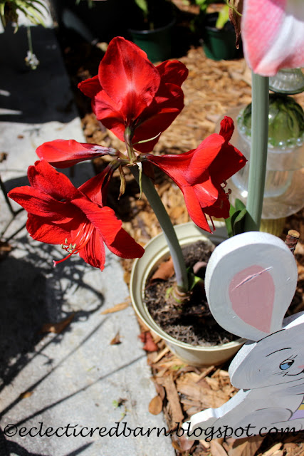 Eclectic Red Barn: Red Blooming Amaryllis plants