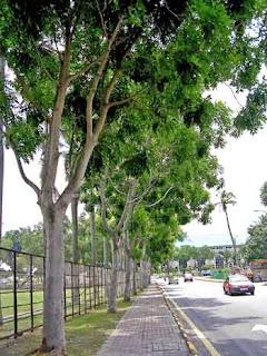 Pohon Angsana si Pohon Peneduh