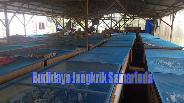 Budidaya Jangkrik di Samarinda kini bukan lagi dipandang sebagai perjuangan yang ecek Order WA 0858-5314-7511 Budidaya Jangkrik di Samarinda Masih Menjanjikan Sekarang
