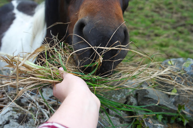 a close up shot of a horse eating grass from my hand