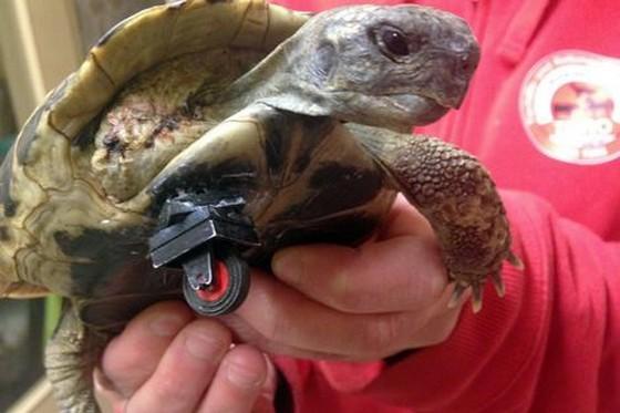 Chú rùa có chân giả được làm từ bánh xe đồ chơi