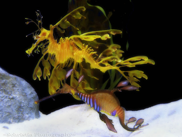 Leafy Sea Dragon  dan  Weedy Sea Dragon