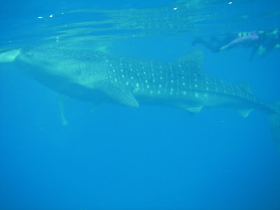 whale shark oslob cebu