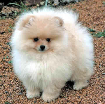 Pomeranian Puppies For Sale: White Pomeranian Puppies For ...