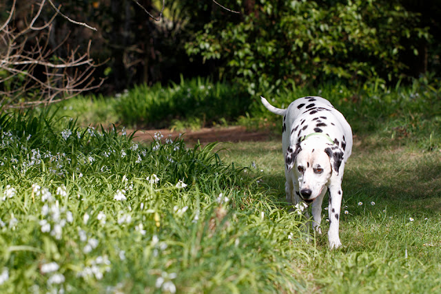 Dalmatian dog walking on a forest trail, sniffing at spring flowers
