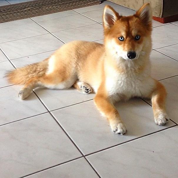 Cão da raça pomsky, cruzamento das raças lulu da pomerânia e husky siberiano