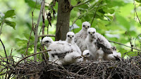 Some predatory birds are hatching after their prey, meaning they have less to eat (Credit: Alamy) Click to Enlarge.