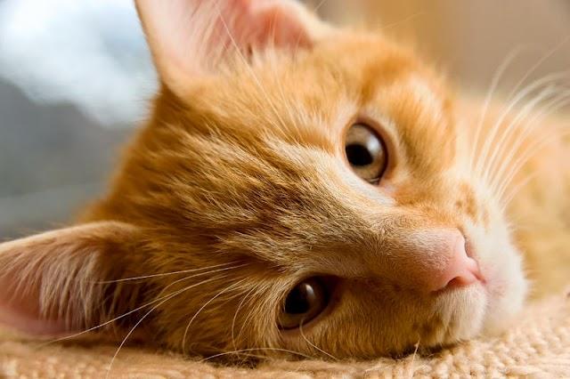 Kisah Palsu Kucing Nabi Muhammad saw?!