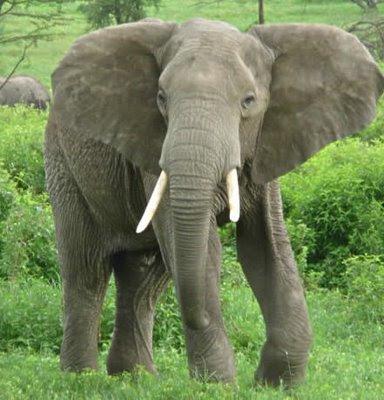 Fakta gajah