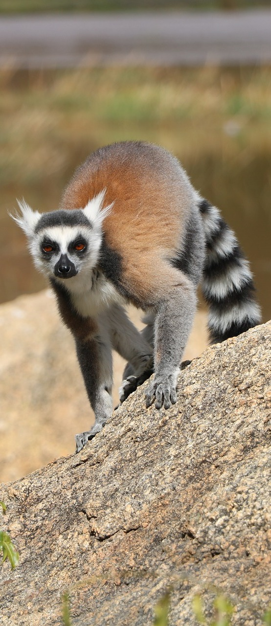 Picture of a lemur on the move.
