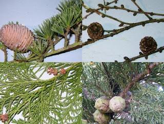 Pengertian, Contoh dan Ciri-ciri Tumbuhan Gymnospermae dan Angiospermae