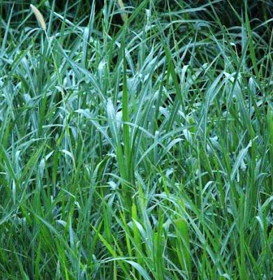 contoh rumput unggul