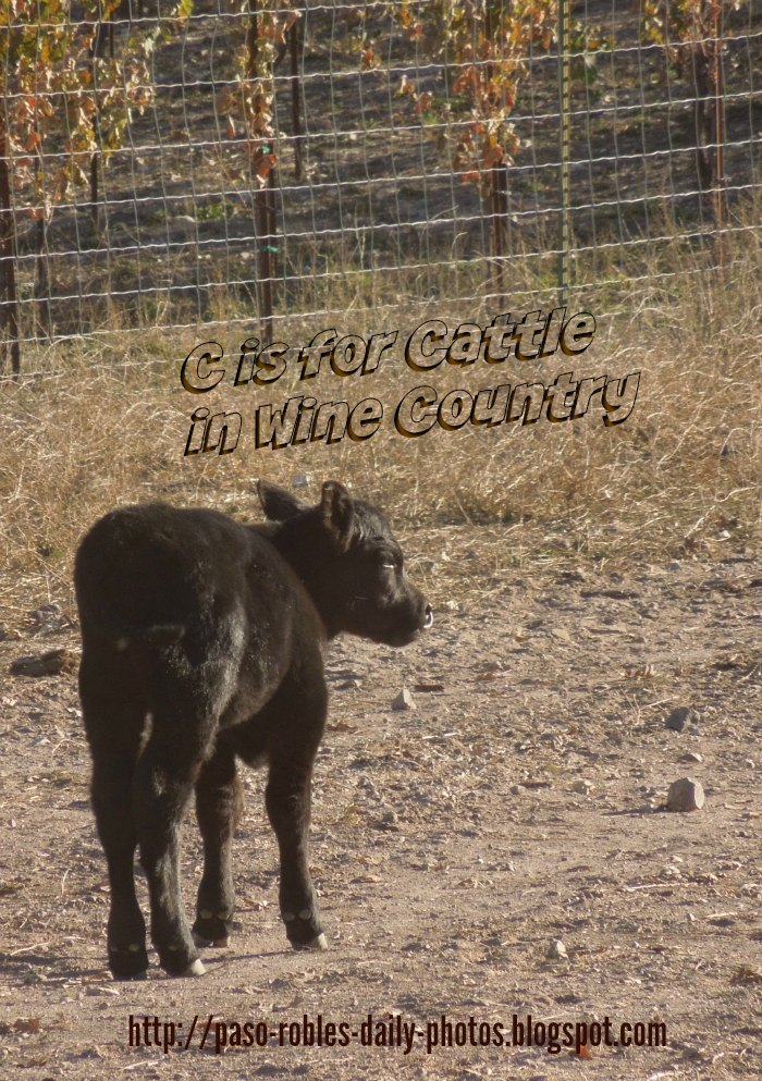 C is for Cattle in Wine Country