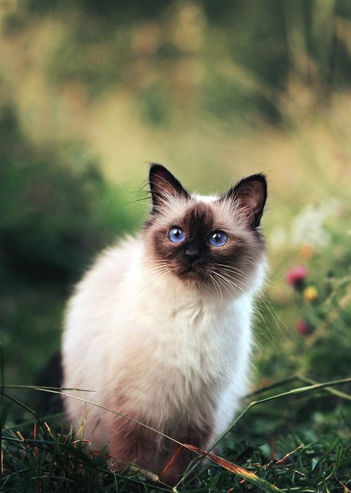 8 Most Affectionate Cat Breeds